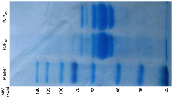 SDS-PAGE electrophoresis of RJP30 and RJP60 (7.5 µg). MW: molecular weight.