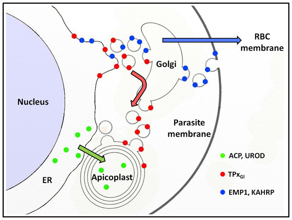 Schematic representation of secretory protein targeting pathways in Plasmodium falciparum.