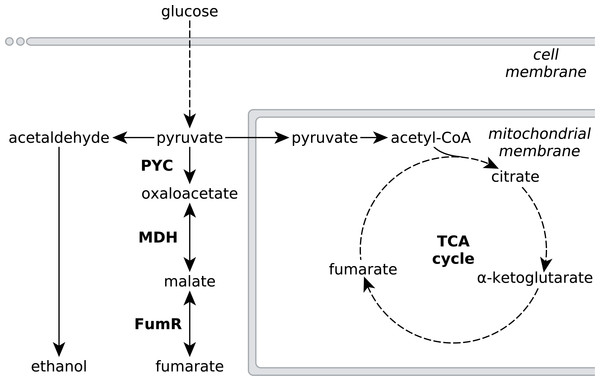 Metabolic pathways involved in fumarate metabolism in R. delemar.