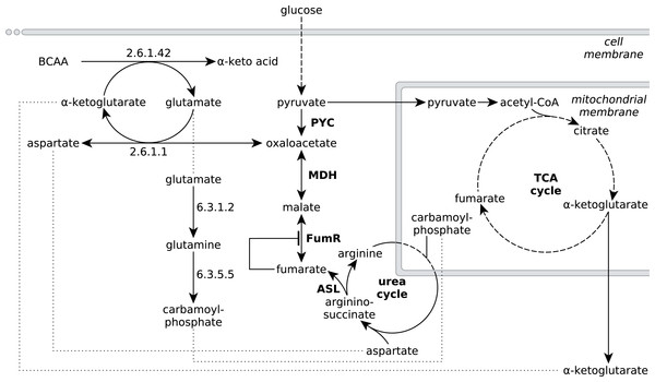Extended network of metabolic pathways involved in fumarate metabolism in R. delemar.
