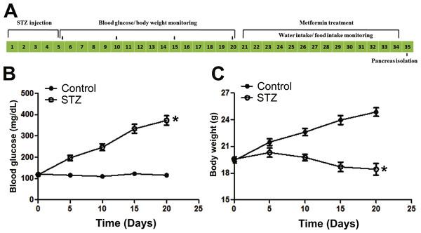 Illustration of experimental design and establishment of STZ induced diabetic mice model.