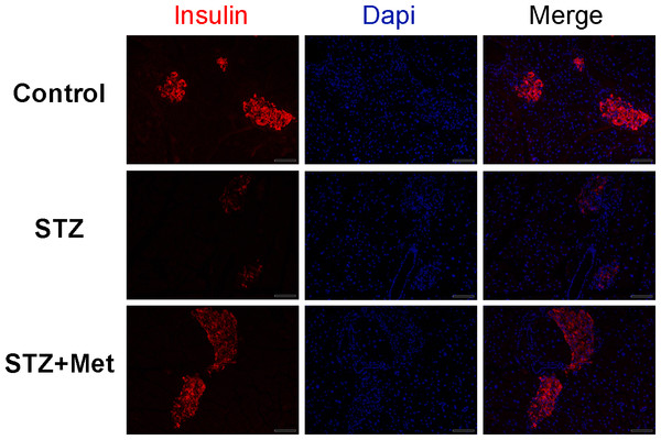 Effect of metformin treatment in STZ-induced diabetic mice on insulin secretion within the pancreatic islet structure.