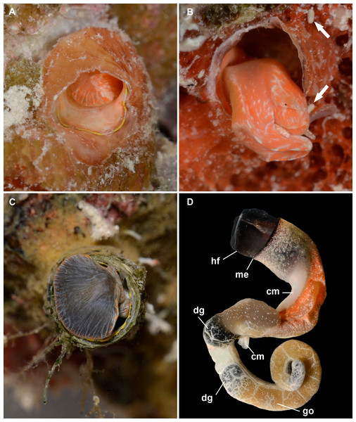 External morphology and living coloration of Thylacodes vandyensis n. sp.