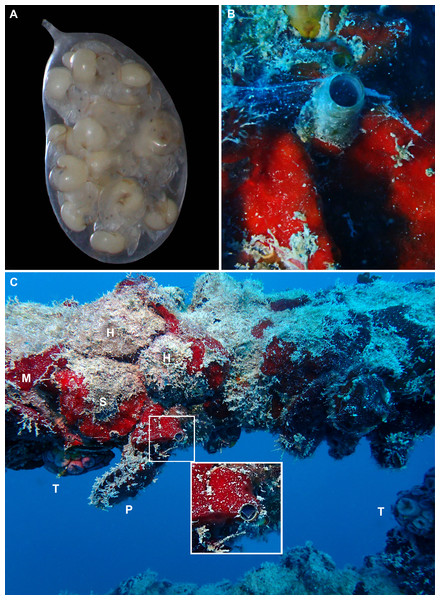 Egg capsule, mucous net feeding, and fouling community of Thylacodes vandyensis n. sp.; all in or from about 29 m depth, September 2016.