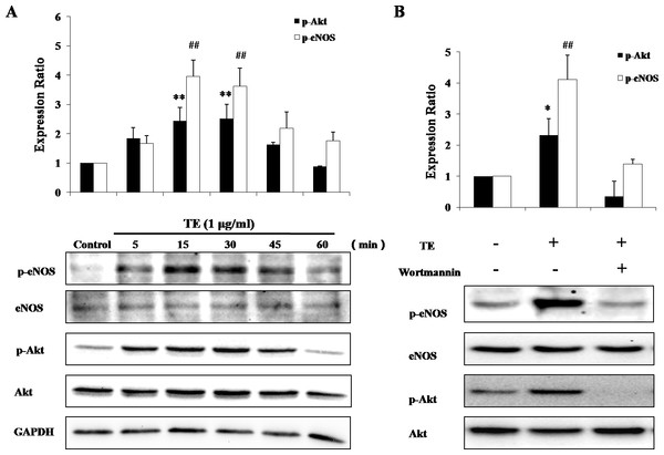 Responses of the PI3K/Akt/eNOS signaling pathway to TE (1 μg/ml).