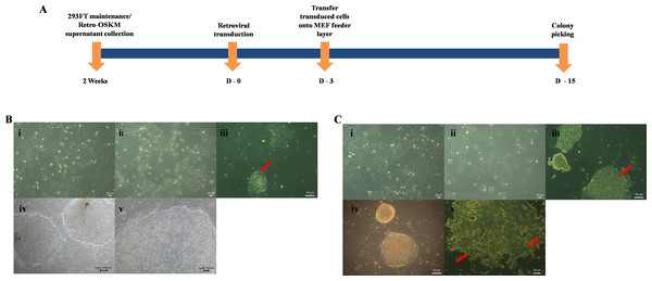 Induction of Pluripotent cells from OSCC.