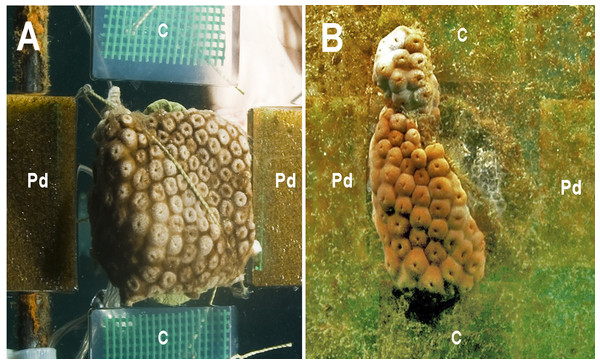 The zoanthid Palythoa caribaeorum fixed to an experimental unit at the beginning of the experiment (T0, A), and after 42 days (T2, B). (Pd) Phyllogorgia dilatata crude extract; (C) untreated gels.