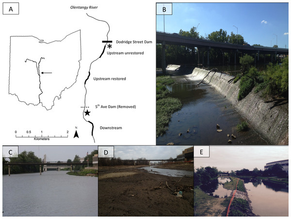 The map (A) shows study site locations on the Olentangy River, and (B) shows the former dam. The remaining photographs depict views upstream of the 5th Avenue Dam overlooking the upstream-restored reach on the Olentangy River, Columbus, Ohio before (C), 2 months (D), and 36 months (E) after dam removal.