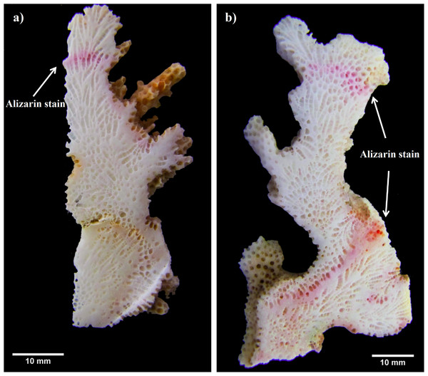 Pocillopora morphospecies coral fragment staining method.