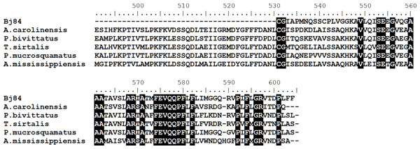 Multiple alignments of amino acid sequences of plasma protease C1 inhibitor (Bj84) with similar sequences described in different species of reptiles.