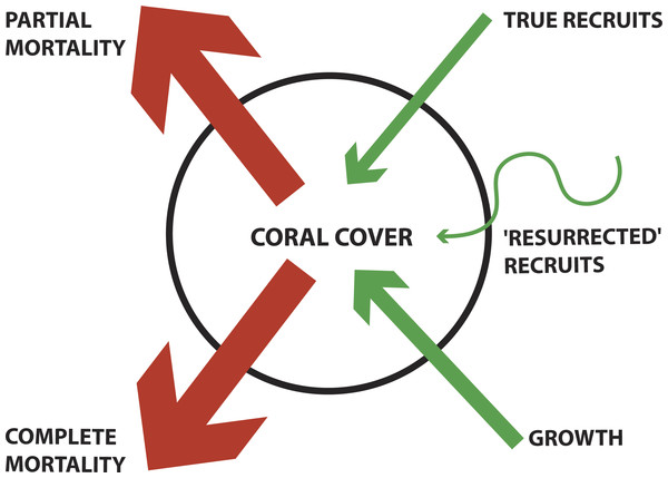 Conceptual diagram of coral demographics contributing to total coral cover for a population.