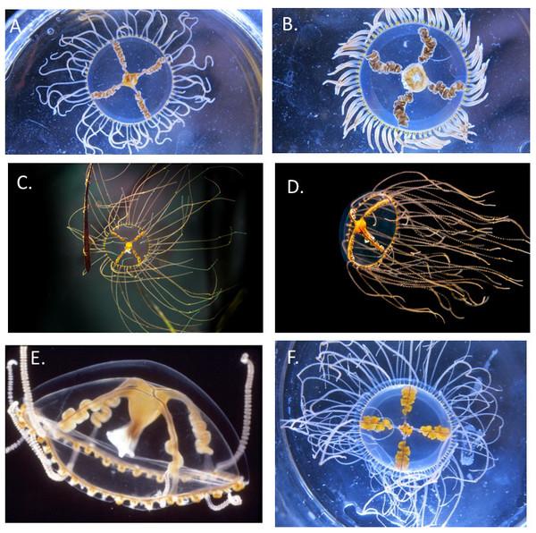 Comparison of Gonionemus medusae.