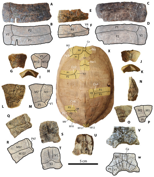 Geoemydid (Rhinoclemmys. sp. Indet.) carapacial material from Santa Elena Province.
