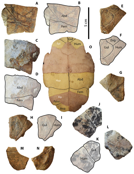 Geoemydid (Rhinoclemmys. sp. Indet.) plastral material from Santa Elena Province.