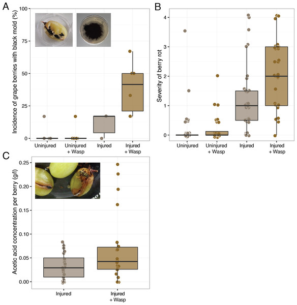 "Effect of sour rot microorganism inoculated wasps on grape berry disease. Treatments include either sound (""Uninjured"") or sliced (""Injured"") grape berries in the presence of wasps (""+Wasp"":) or in the absence of wasps."