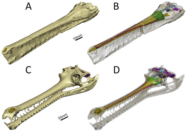 Three-dimensional reconstruction of the skull and underlying endocranial morphology.