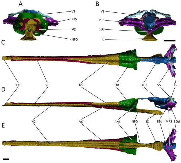 Reconstruction of the endocranial anatomy of Pelagosaurus typus.