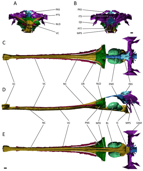 Reconstruction of the endocranial anatomy of Gavialis gangeticus.