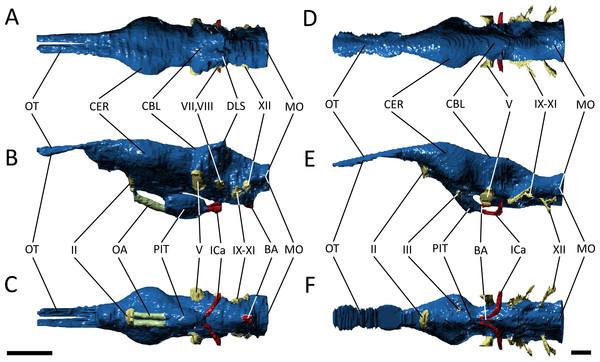 Endocast morphology.