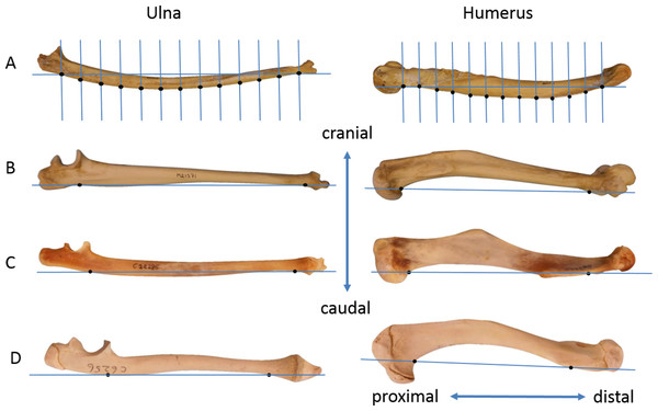 Lateral photographs of some ulnae and humeri.