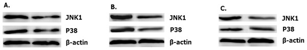 Overexpressed hsa-miR-138-2-3p up-regulated expression of JNK1 and p38.