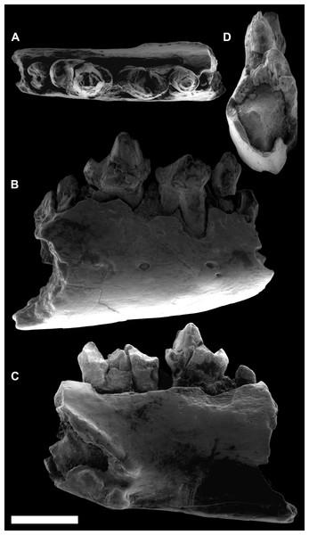 ESEM images of Agerinia marandati sp. nov. from Masia de l'Hereuet.