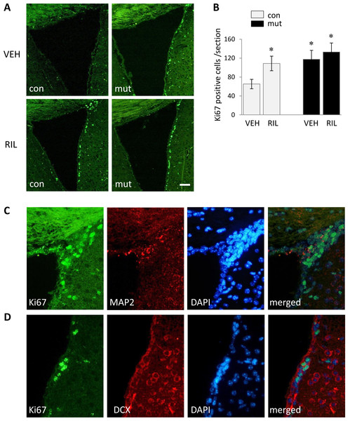 Representative images of immunofluorescent analysis and quantification of proliferating cells in the region of the SVZ as revealed by the Ki67 marker in control (con) and TIF-IAD1RCre-mutant (mut) riluzole treated and non-treated mice (A, B). Example of Ki67/MAP2/DAPI (C) or Ki67/DCX/DAPI (D) triple-stainings carried out in attempt to confirm nuclear localization and neuronal origin of Ki67 signal.