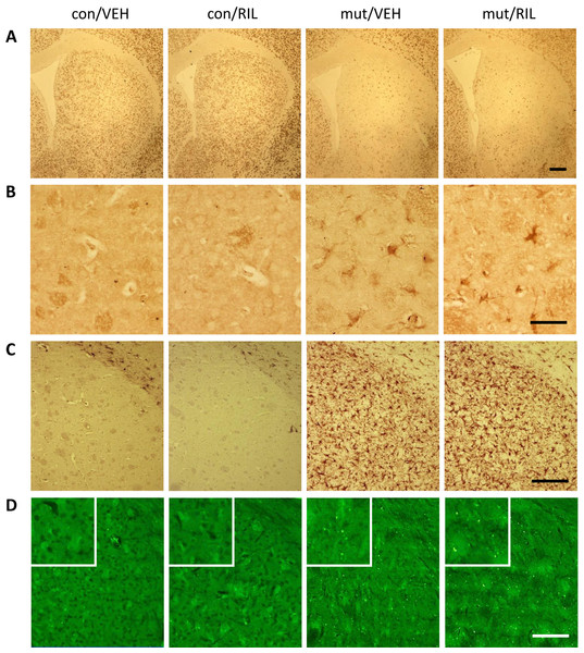 Representative images of immunohistochemical analysis showing staining of striata with the NeuN (A), induction of oxidative stress detected by the anti-8OHdG antibody (B), astrogliosis visualized by the GFAP-specific antibody (C) and degenerating neurons detected by FluoroJade C staining (D) in control (con) and TIF-IAD1RCre-mutant (mut) mice.