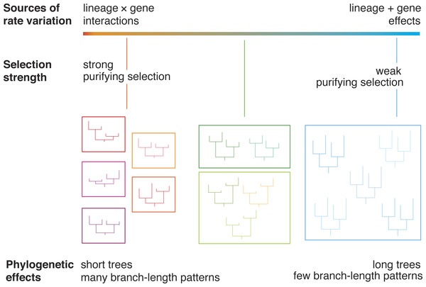A diagram illustrating the relationship between evolutionary rate and phylogenetic branch-length clusters.