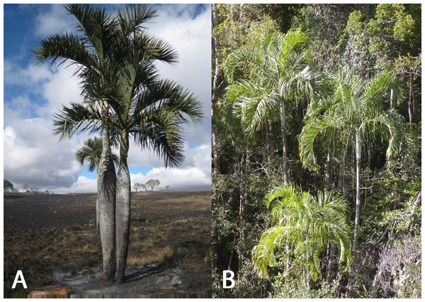(A) Dypsis decipiens (IUCN: Endangered), (B) Dypsis ambositrae (IUCN: Critically Endangered), palms found in the central highlands of Madagascar.