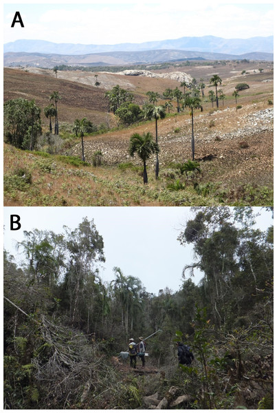 (A) Dypsis decipiens grows in large but widely spaced stands across the Itremo Massif of the Madagascan Central Highlands, a region vulnerable to frequent and extensive grassland fires. (B) Dypsis ambositrae grows in small populations in riverine and gallery forest in Madagascar, vulnerable to deforestation and charcoal production.