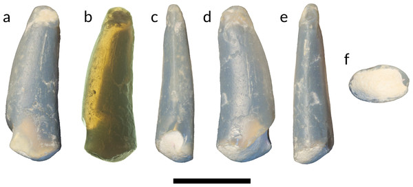 Tooth of Anhangueria indet. LRF 3142.