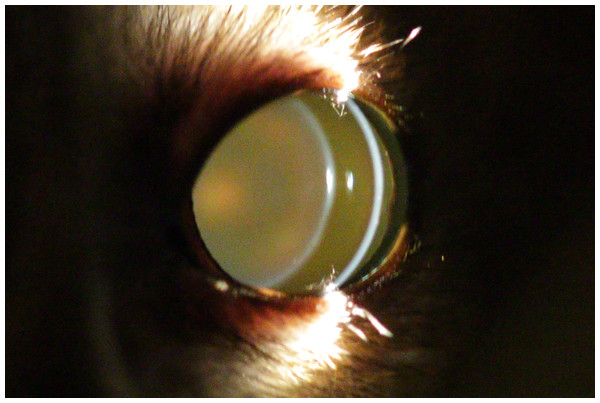 Eye of a two year old mouse lemur.