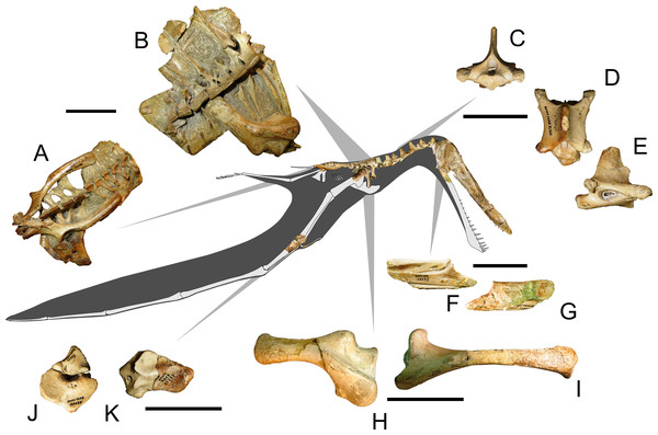 Specimen AMNH 22555, a partial anhanguerid skeleton. Some selected elements are figured in detail.