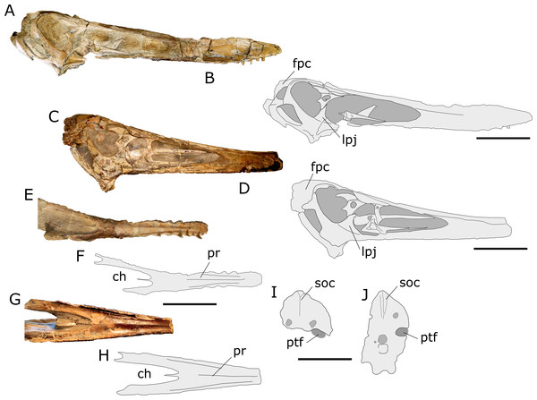 "Comparison between the skulls of AMNH 22555 and ""Anhanguera santanae"" holotype (SNSB-BSPG 1982 I 90)."