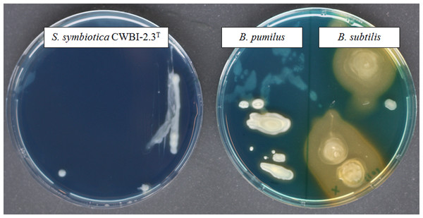 The screening of siderophore production by S. symbiotica CWBI-2.3T on CAS agar plates after 48 h of growth at 20°C as described in Materials and methods.