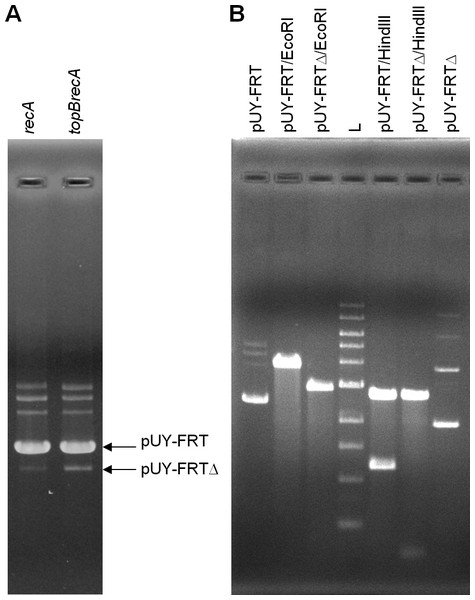 Excision of the cat gene in pUY-FRT and generation of pUY-FRTΔ.