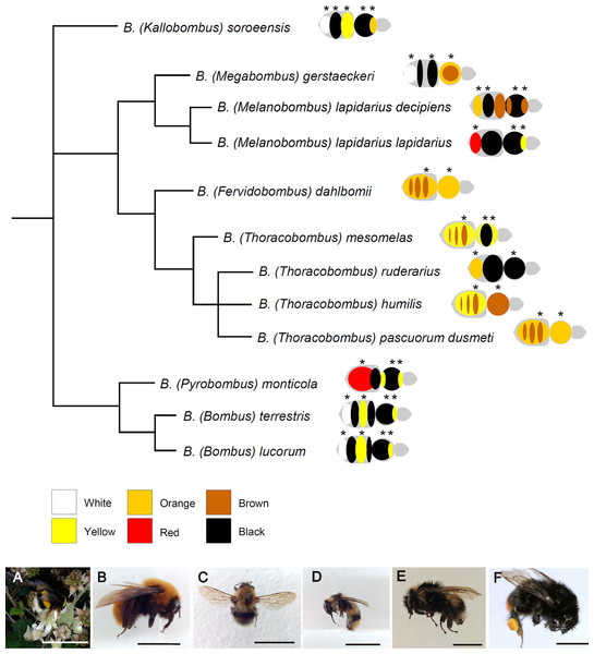 Phylogenetic relationships among the studied species of Bombus, hand-drawn starting from the results published in Cameron, Hines & Williams, 2007.