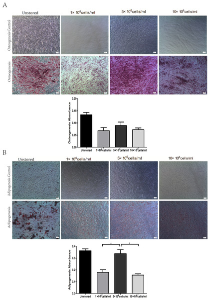 Multidifferentiation of ADSCs at different cell concentrations (A) Osteogenic differentiation. (B) Adipogenic differentiation.
