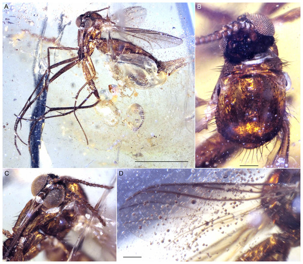 Photographs of Indorrhina sahnii n. gen et sp., holotype female Tad-418.