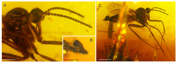 Photographs of Palaeognoriste orientale n. sp., holotype male Tad-887.