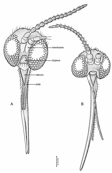 Drawings of frontal view of heads (same scale).