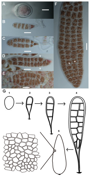 Morphogenesis of P. haitanensis during the thallus stage.