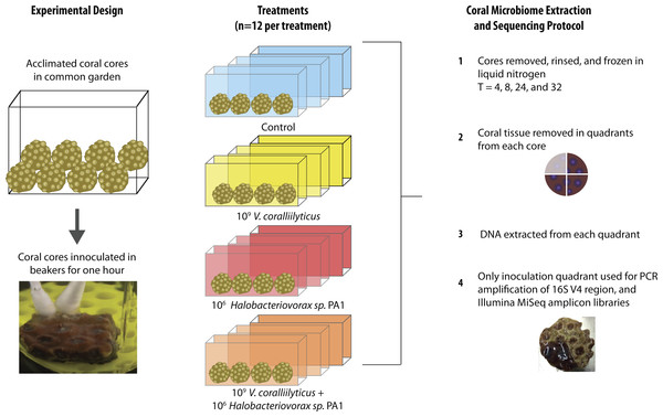 Montastraea cavernosa microbiome manipulation experimental design detailing collection and inoculation of coral cores, treatment tanks and replication, sample preservation, tissue removal, DNA extraction, and microbiome sample processing.