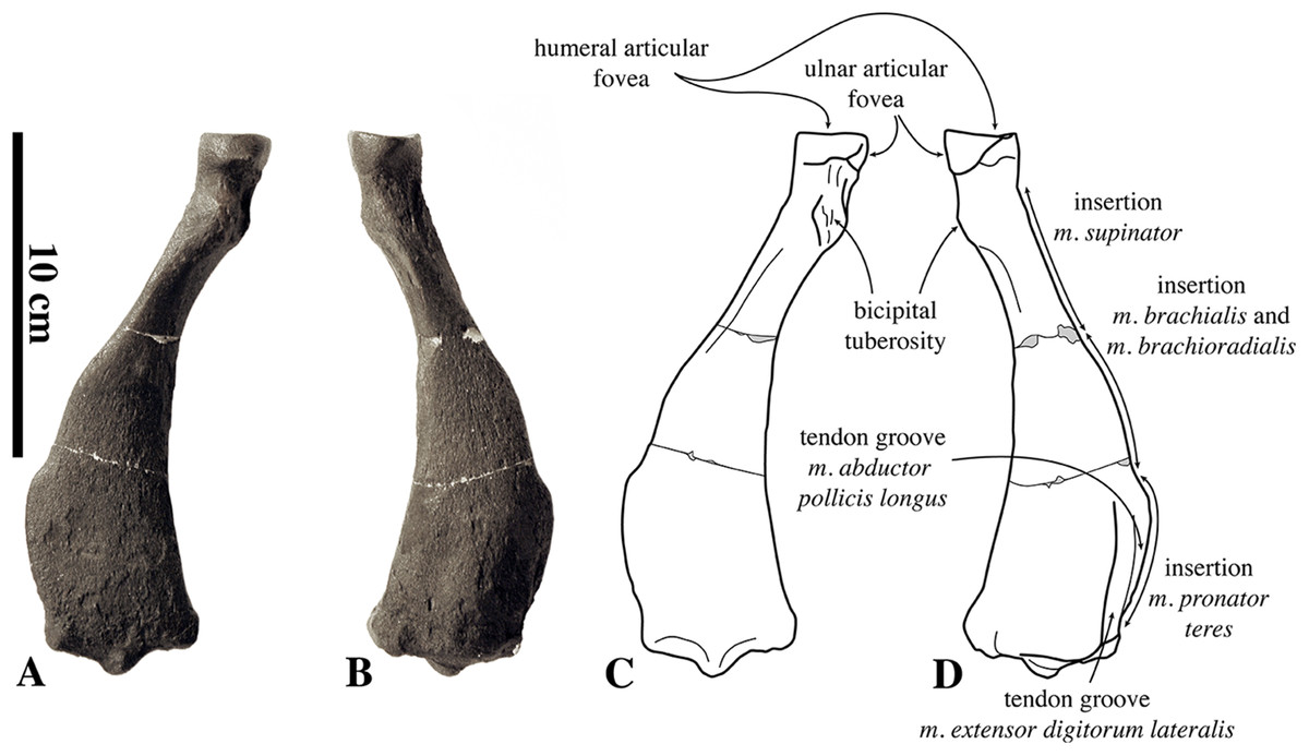 """Reappraisal of the extinct seal """"Phoca"""" vitulinoides from the ..."""
