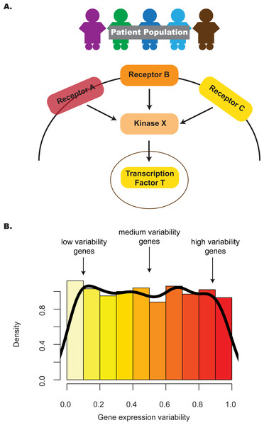 The distribution of gene expression variability highlights the regulatory control that different genes in the pathway are subjected to.