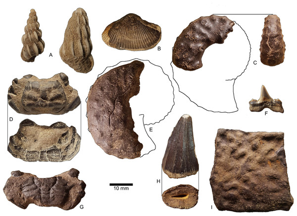 Marine macrofossils collected in loose association with ceratopsian tooth (from Table 1), most consistent with a Maastrichtian age.