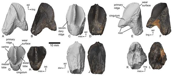 Right dentary tooth of ceratopsid dinosaur, MMNS VP-7969.