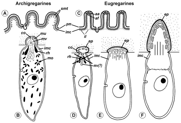 Comparison of archigregarine (A–B) and eugregarine (C–F) cell organization with their main diagnostic characteristics (candidate synapomorphies).