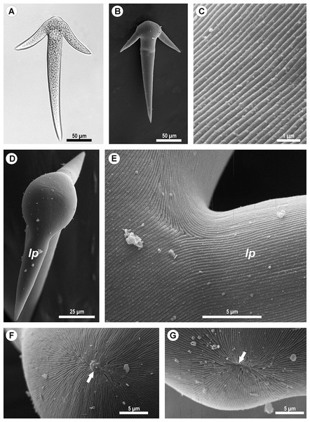 Light (A) and scanning electron microscopy (B–G) of Ancora sagittata.